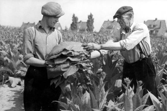 De sigaar maakte een eind aan de tabaksteelt in Nederland