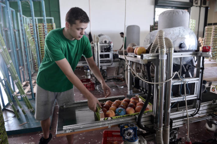 """An employee being about to remove a peaches wooden crate from the treadmill after they received their label """"Velvita"""""""